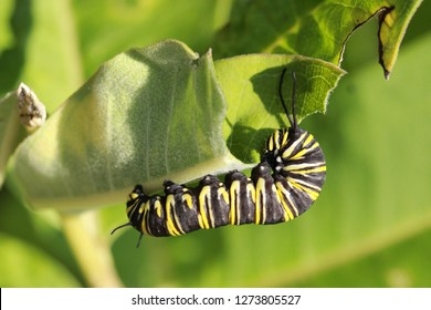 Horizontal shot of a monarch butterfly in caterpillar form feeding on milkweed