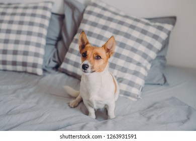 Horizontal shot of pedigree dog on comfortable bed, looks into distance, enjoys comfort in cozy bedroom. Pedigree pet waits for host to have sleep together