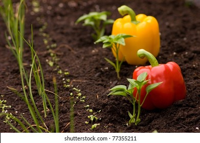 Horizontal shot of red and yellow Capsicum Annuum small plants with the peppers behind instead of labels. Urban gardening concept, shallow depth of field, focus on the plant.