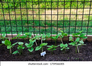 Horizontal shot of a row of lima beans growing in a patio garden.
