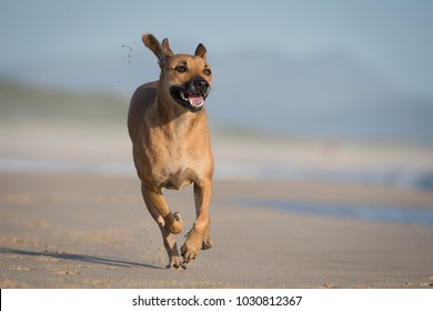 A horizontal, side lit, color photo of a happy dog, Canis familiaris, running along a beach in the Western Cape, South Africa.