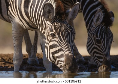 A horizontal side profile photograph of two Zebra (equus quagga) drinking side by side from a dam during sunset in Mashatu Game Reserve