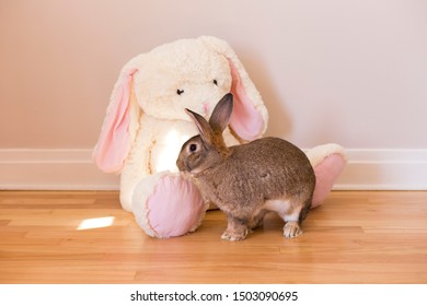Horizontal side view photo of Flemish Giant rabbit in front of a giant white stuffed rabbit toy sitting on a hardwood floor