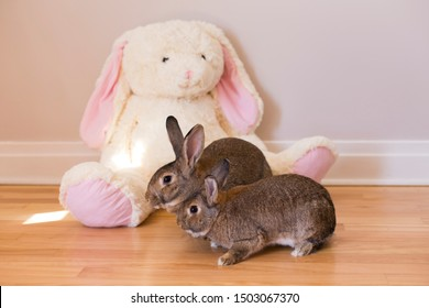 Horizontal side view photo of two adorable brown adult bunny rabbits in front of a giant white stuffed rabbit toy sitting on a hardwood floor