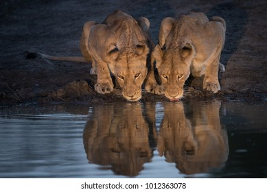 A horizontal, spot lit colour image of two lionesses, Panthera leo, drinking side by side at a waterhole in the Greater Kruger Transfrontier Park, South Africa.