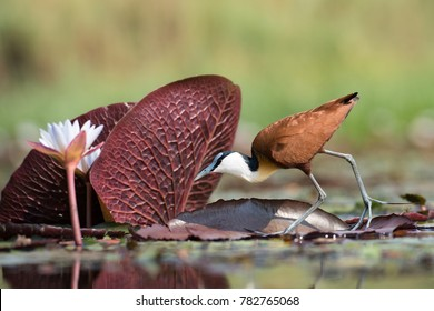 A horizontal, surface level, colour photo of an African jacana, Actophilornis africanus, walking lightly on floating patterned leaves toward a white flower in Chobe National Park, Botswana.