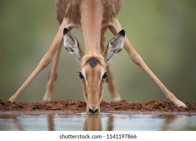A horizontal, surface level, cropped photo of a young impala, Aepyceros melampus, drinking at a waterhole in the Karongwe Conservancy, Limpopo Province, South Africa.