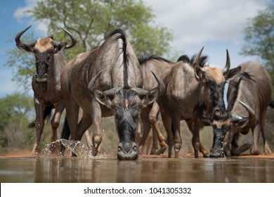 A horizontal, surface level, full length, colour image of a herd of wildebeest, Connochaetes gnu, drinking at a waterhole in the Karongwe Conservancy, South Africa.