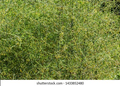 Horizontal texture of green Asparagus with yellow seeds, or garden asparagus, folk name sparrow grass, scientific name Asparagus officinalis a perennial flowering plant species in the genus Asparagus