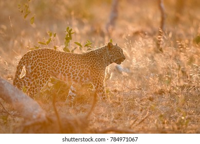 A horizontal, vibrant colour photo of a young female leopard, Panthera pardus, walking in glowing golden backlight in the Greater Kruger Transfrontier Park, South Africa.