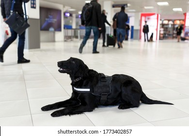 Horizontal view of a black dog for drug detection at the airport on the floor, blurred people background.