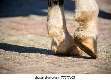 Horizontal View Of Close Up Of Clear Hooves Of A Standing Horse With White Fluff On Blur Background