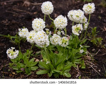 Horizontal view of a clump of white drumstick primulata flowers blooming in spring, Quebec City, Quebec, Canada