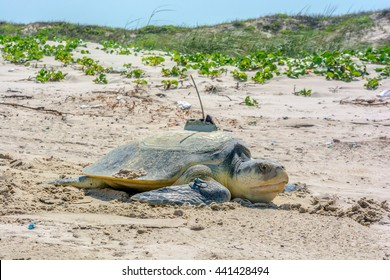 A horizontal view of a rare and critically endangered Kemp's Ridley sea turtle that is returning to the Atlantic Ocean/Gulf of Mexico after laying a clutch of eggs on the beach at Padre Island.