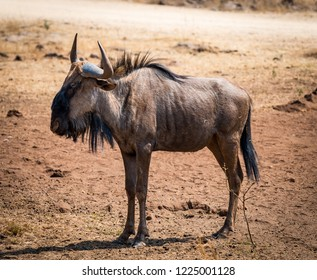 Horizontal view of wildebeest (gnu) in the african landscape
