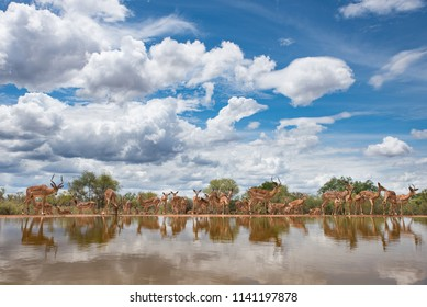 A horizontal, wide angle, colour image of a herd of impala, Aepyceros melampus, drinking at a still waterhole under a bright blue sky with fluffy clouds at Indlovu River Lodge, South Africa.