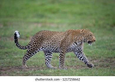 A horizontal wildlife photograph of an adult male Leopard (Panthera pardus) walking across green grass plains in the Masai Mara in Kenya.