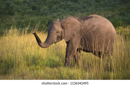 A horizontal wildlife photograph of an African Elephant (Loxodonta africana) walking across grassland plains of the Kruger National Park in South Africa in golden afternoon light.
