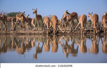 A horizontal wildlife photograph of a drinking Impala (Aepyceros melampus) herd in golden morning light at Mashatu Game Reserve in Botswana.