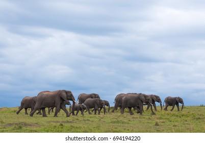 A horizontal wildlife photograph of a herd of Elephant (Loxodonta africana) walking across grass plains underneath dark cloudy skies in the Masai Mara in Kenya.