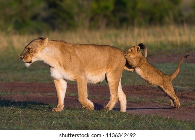 A horizontal wildlife photograph of a Lioness and her Cub (Panthera Leo) playfighting across the grassland plains of the Masai Mara in Kenya.