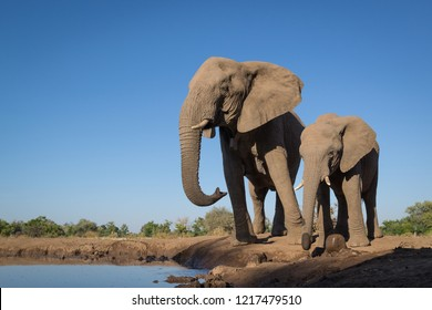 A horizontal wildlife photograph of a mother Elephant and Calf (Loxodonta africana) drinking from a small waterhole during a hot day in Mashatu Game Reserve in Botswana.