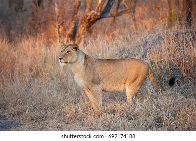 A horizontal wildlife photograph of one adult female Lion (Panthera Leo) standing and stalking on the grasslands of the African savannah during the morning in Sabi Sands Game Reserve in South Africa.