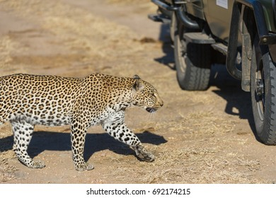 A horizontal wildlife photograph of one adult female Leopard (Panthera pardus) walking alongside a 4x4 safari vehicle across barren land in the morning in the Sabi Sands Game Reserve in South Africa.