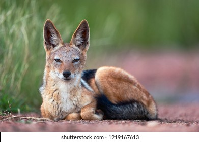 A horizontal wildlife photograph of a resting adult Black-backed Jackal (Canis mesomelas) sat on a dirt road staring at the camera in the Borakolalo Nature Reserve in South Africa.
