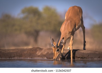 A horizontal wildlife photograph of a sub-adult male Impala (Aepyceros melampus) drinking from a small dam in golden morning light at Mashatu Game Reserve in Botswana.