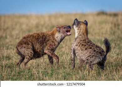 A horizontal wildlife photograph of two adult Spotted Hyena (Crocuta crocuta) fighting and showing teeth on the grass plains of the Masai Mara in Kenya.