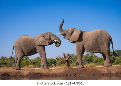A horizontal wildlife photograph of two adult Elephant (Loxodonta africana) standing and challenging eachother close to a waterhole on a hot day in Mashatu Game Reserve in Botswana.