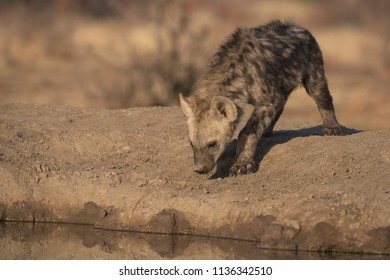 A horizontal wildlife photograph of a young Spotted Hyena pup (Crocuta crocuta) walking towards water in golden morning light at Mashatui Game Reserve in Botswana.