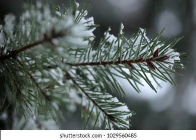 horizontal winter nature detail - pain tree tiny brunch with green needle and bright white snow on top with natural light