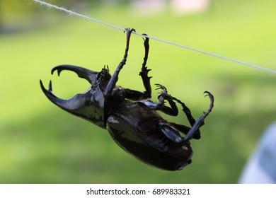Horn beetle