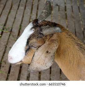 Horn broken female goat
