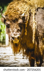 horn, great and mighty bison, america