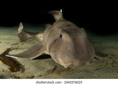 Horn Shark Close up at Redondo Beach, California