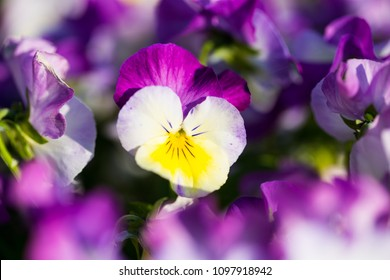 Horn violet, Viola cornuta, macro shot