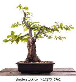 Hornbeam-Bonsai mit Tragholz auf Holzbrett