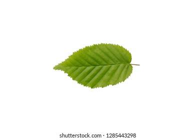 hornbeam bush leaf isolated on white background