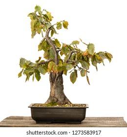 Hornbeam (Carpinus betulus) bonsai tree in a pot on wood