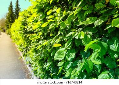 Hornbeam (Carpinus betulus) hedge in Summer as privacy