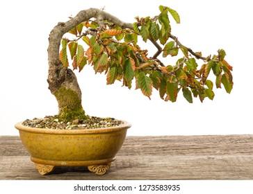 Hornbeam (Carpinus orientalis) bonsai tree in a ceramic pot in autumn