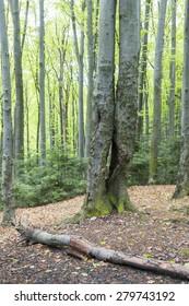 Hornbeam forest in the Carpathians