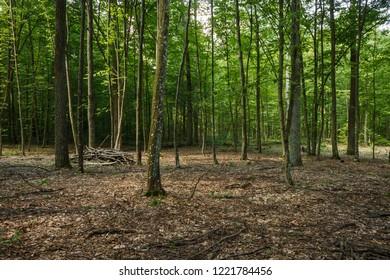 Hornbeam forest. Forest landscape