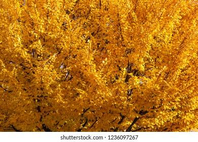Hornbeam with golden leaves during the autumn. Carpinus betulus.