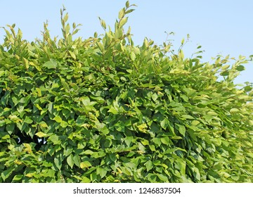 Hornbeam hedge, carpinus betulus