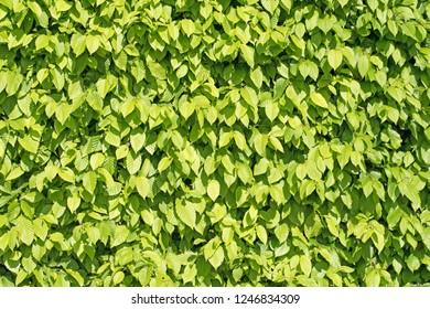 Hornbeam hedge, carpinus betulus, cut into shape