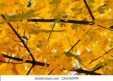 Hornbeam leaves color in autumn season. Yellow leaves wallpaper and texture.